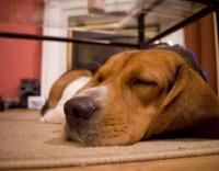 schweinegrippe-hund
